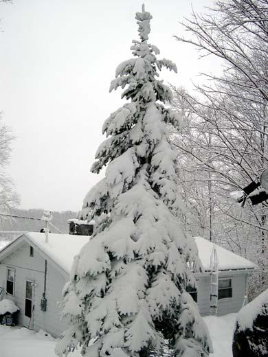 heavy snow on tree